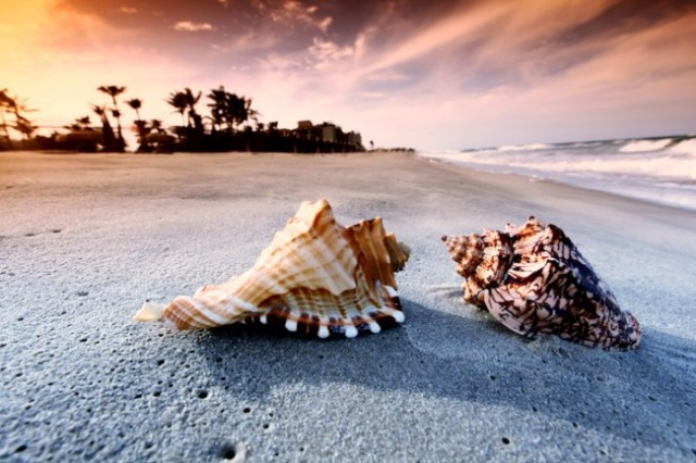 beach-conch-shells-650x433
