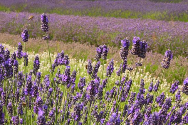 norfolk_lavender_garden_653_jpg_original