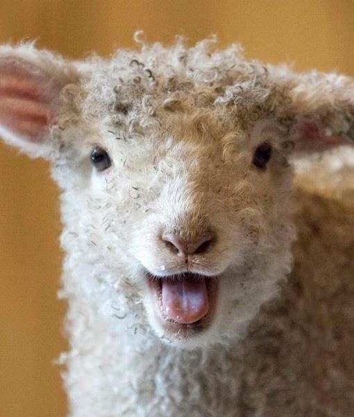 68e467bc0ada54056964c58ad7f724dd--baby-lamb-zoos