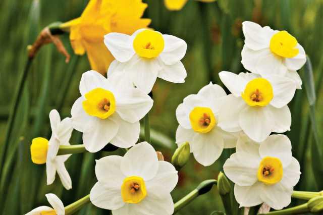 daffodils_aa51e27f4aab07409494_11303